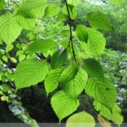 珍稀植物领春木苗图片