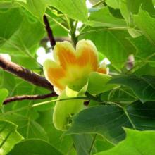鹅掌楸苗木兰科鹅掌楸属苗高1.8米左右珍稀植物批发