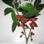 樟科黑壳楠苗图片