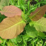 木兰科新种红花玉兰图片