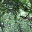 巴山榧树种子图片