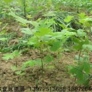 鹅掌楸种子图片