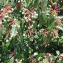 红润楠种子/红楠种子/红楠种子价格图片