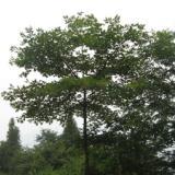 供应檫木檫树桐梓树黄揪树种子