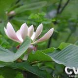 供应二级保护植物厚朴苗
