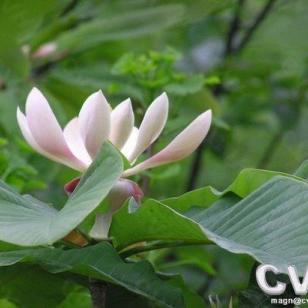 二级保护植物厚朴苗图片