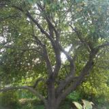 供应海棠古树
