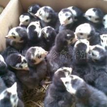 供应火鸡苗批发,火鸡养殖技术,火鸡苗价格,火鸡养殖基地中心