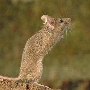小家鼠图片