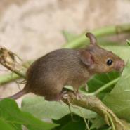 徐州小家鼠图片