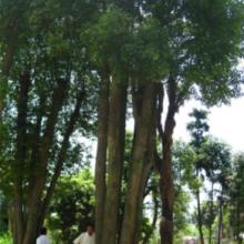 ≡买卖香樟树≌求购供应香樟★湖南益阳香樟交易市场※非凡园林(图)