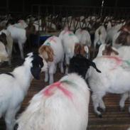 最新波尔山羊的养殖场和效益分析图片