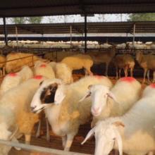 2013年山羊的价格