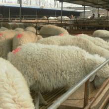 供应小尾寒羊的繁殖效益