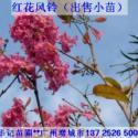 红花风铃木苗图片