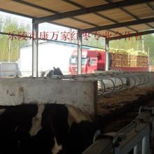 供应新型植物性饲料—饲料枣