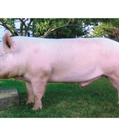 河南仔猪交易市场_仔猪图片_仔猪样板图/效果图_河南国营种猪育种基地_一呼百应网