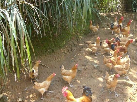 鸡苗分公母-一呼百应资讯频道图片