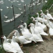 优质白鸭苗孵化场包运费直销全国图片