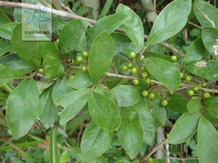 常年销售各种绿化苗木流苏树牛筋树图片图片