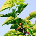 果桑树苗图片