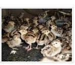山东乌骨鸡苗养殖场 山东乌骨鸡苗养殖场订购 乌骨鸡苗