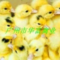 供应广州蛋鸭苗生产商