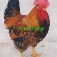 麻鸡苗价钱图片