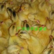 蛋鸭苗图片