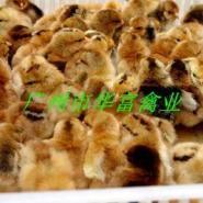广州新陂麻鸡苗价钱图片