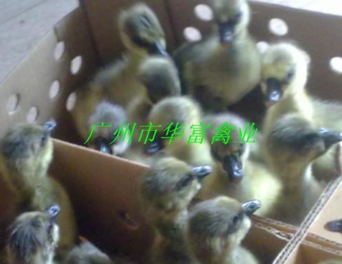 供应马钢鹅苗;广州马钢鹅苗养殖场价格;广州马钢鹅苗养殖场批发价格