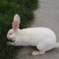 供应皮兔獭兔