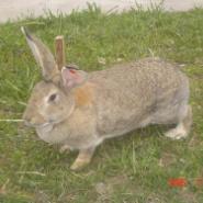 宾馆饭店的青睐肉兔比利时野兔图片