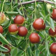 枣树苗灰枣苗壶瓶枣冬枣苗优良品种图片