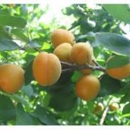 河南山杏树苗图片