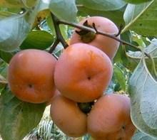 供应山西柿子树苗种植基地,各种品种柿子树销售