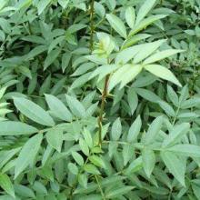 供应山西皂角苗  大量花椒苗  运城梨树成品苗