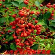 山西红将军苹果苗图片