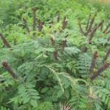 山西运城1至2年臭椿苗 粗度0.8至2公分臭椿苗高1至3米