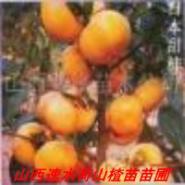 柿子树苗图片