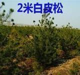 供应赵小快绿化树苗苗圃