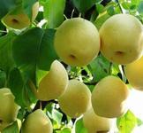 5公分柿子树6公分山楂树5公分桃树图片