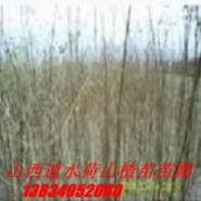 壶瓶枣的种植图片