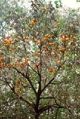 供应3至10公分柿子树08至2公分柿子苗