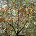 山西1公分柿子树2公分柿子树图片