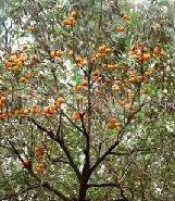 甜柿类树苗图片