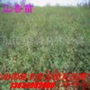 山西绿化苗种子图片