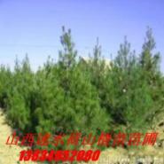 山西绿化苗图片