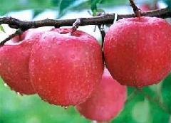 供应早熟苹果苗 红将军苹果苗量大便宜 山西苹果苗基地