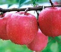 供应代销各种水果_山西涑水菏山楂苗苗圃